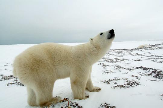 Polar Bear (Ursus maritimus) Sub adult, low ground view. Churchill, Manitoba. Canada. Winter.