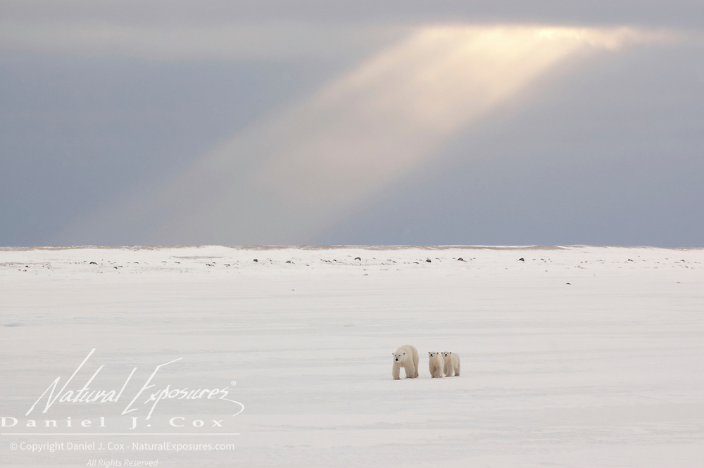 Polar bear (Ursus maritimus) mother and cubs under a shaft of light. Cape Churchill, Manitoba, Canada