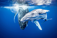 The Great Migration. Megaptera novaeangliae (Humpback Whale).