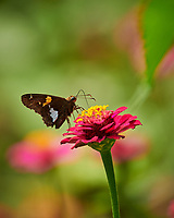Silver-spotted Skipper Butterfly on a Zinnia Flower. Image taken with a Nikon D850 camera and 200-500 mm f/5.6 VR lens (ISO 320, 500 mm, f/5.6, 1/1000 sec).