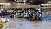 Plains Zebras (Equus burchelli) drinking from a small river in Maasai Mara, Kenya.