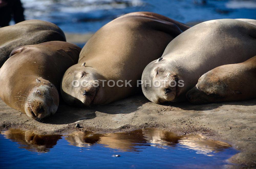 Sea Lions Resting in the Sun