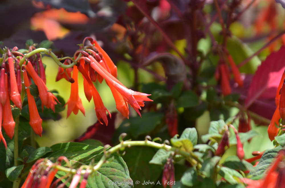 Honeysuckle flowers clustered at the Public Garden, Boston, MA