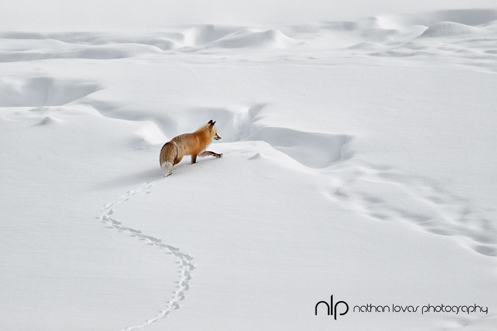 Red fox in snow; Yellowstone NP in wild.