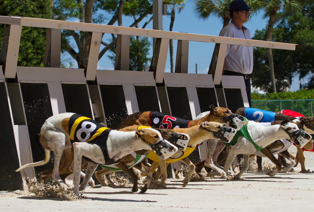Strike The Fuse (#8) and the rest of the racers leave the start during the 10th race of a Wednesday matinee. Derby Lane in St. Petersburg has Greyhound racing every evening Monday through Saturday and has matinee racing on Wednesdays and Saturdays..Photo by James Branaman
