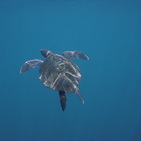 South America, Ecuador, Galapagos Islands, Pacific Sea Turtle (Chelonia mydas) swimming underwater near Fernandina Island