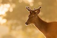 Red Deer (Cervus elaphus) stag, during summer showing new growth antlers, Norfolk, UK.