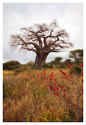 Baobab and wildflowers, Tarangire national Park, Tanzania