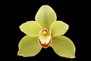 Pale green Cymbidium Orchid bloom on a black background.