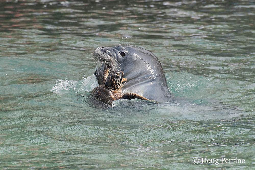 Hawaiian monk seal, Monachus schauinslandi, 2.5 year old male, bites flipper of green sea turtle or honu, Chelonia mydas, while playing with it, Pu'uhonua o Honaunau ( City of Refuge ) National Historical Park, Kona, Hawaii ( Big Island ) Hawaiian Islands, U.S.A. ( Central Pacific Ocean )