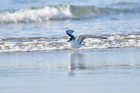Common Tern (Sterna hirundo), Cherry Hill Beach, Nova Scotia, Canada