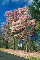 Spring blooming native tree