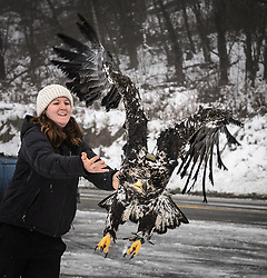 "Rachel Wheat, a graduate student at the University of California Santa Cruz, releases bald eagle (Haliaeetus leucocephalus) ""4P"" back into the wild. Note the GPS transmitter on the eagle's back and the dual leg bands. One leg band is used by the researcher and the other is registered with the U.S. Geological Survey. Wheat is conducting a bald eagle migration study of eagles that visit the Chilkat River for her doctoral dissertation. She hopes to learn how closely eagles track salmon availability across time and space. The bald eagles are being tracked using solar-powered GPS satellite transmitters (also known as a PTT - platform transmitter terminal) that attach to the backs of the eagles using a lightweight harness. The latest location of this eagle can be found here: http://www.ecologyalaska.com/eagle-tracker/4p/ . During late fall, bald eagles congregate along the Chilkat River to feed on salmon. This gathering of bald eagles in the Alaska Chilkat Bald Eagle Preserve is believed to be one of the largest gatherings of bald eagles in the world. EDITOR'S NOTE: This image is a cropped version of the image I0000DKmhuipNOvQ."