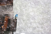 HOPE DIES LAST | Male mountain bluebird refuses to give up against all odds