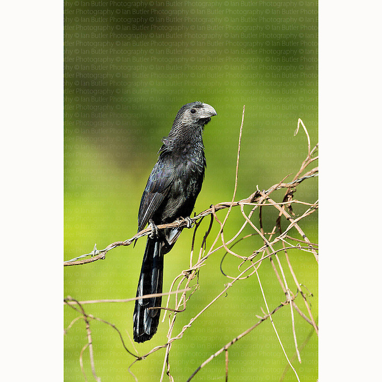 Groove-billed Ani (Crotophaga sulcirostris) perched on fence near Boca Tapada, Costa Rica, February, 2014.