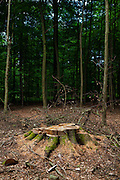 "Tree stump in the Sonian Forest, Foret de Soignes, or Zoniënwoud, an 11,000 hectare woodland to the southeast of Brussels, providing a ""green lung"" for the polluted, traffic choked city. The forest is currently in three jurisdictions, Brussels, Flanders and Wallonia, but EU involvement in 2013 will see development of plans to re-unify the forest, for the benefit of humans and wildlife."