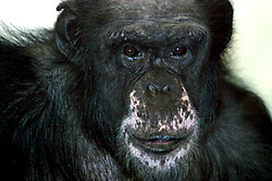 Chimpanzee (Photo by Alan Look)