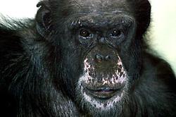 Chimpanzee (Photo by Alan Look)