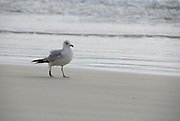 A gull walks on the sand at the edge of the water at the beach.