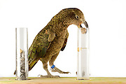 [captive] In this experiment, the Kea (Nestor notabilis) is presented three tubes filled with water, large or small stones. The Kea learns to drop stones into the tube filled with water until the water level has risen high enough for the Kea to pick up a nut. The picture was taken in cooperation with the University of Vienna (UniVie) and University of Veterinary Medicine Vienna (VetMed). Sequence 5/16. | In diesem Experiment werden dem Kea (Nestor notabilis) drei Röhrchen präsentiert, die entweder mit Wasser, kleinen oder großen Steinchen gefüllt sind. Der Kea wirft gezielt Steine in die Säule mit Wasser, bis die darin befindliche Nuss hoch genug schwimmt, um vom Kea erreicht zu werden. Das Bild wurde in Zusammenarbeit mit der Veterinärmedizinischen Universität Wien und der Universität Wien erstellt. Sequenz 5/16.