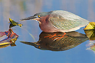 Green Heron - Butorides virescens - adult
