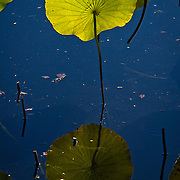 Water lily pad stands alone (Nymphaeaceae) | Atlanta Botanical Garden