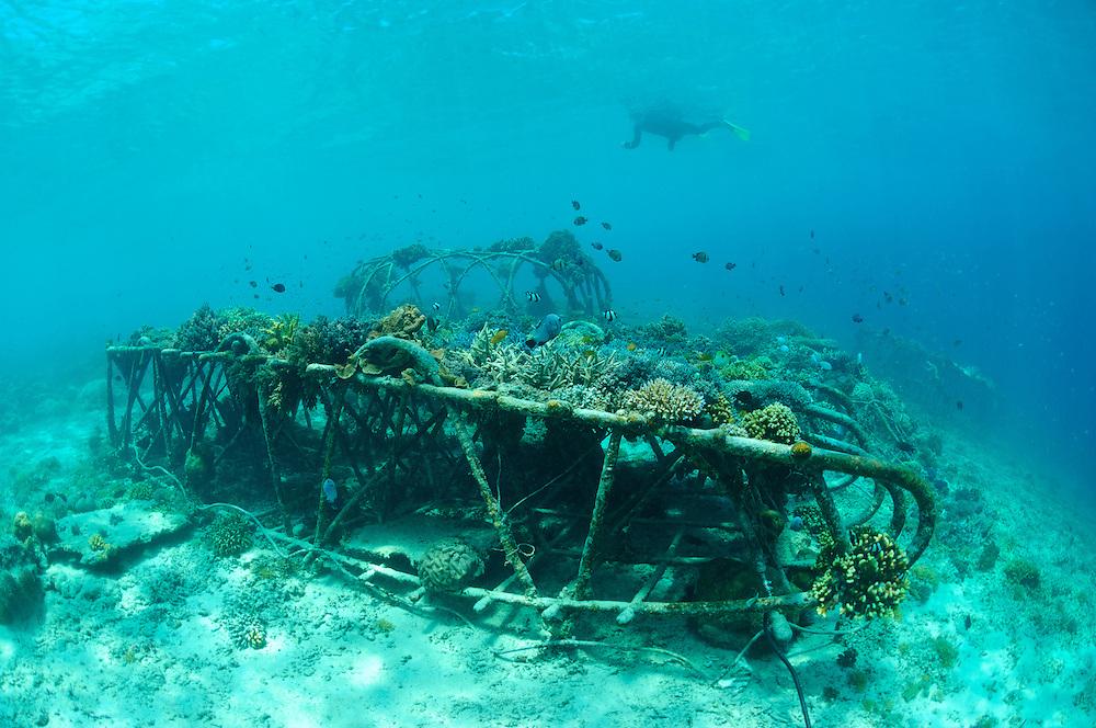 Scientist Thomas Goreau swimming over Biorock structures, Gili Trawangan, Lombok, Indonesia.