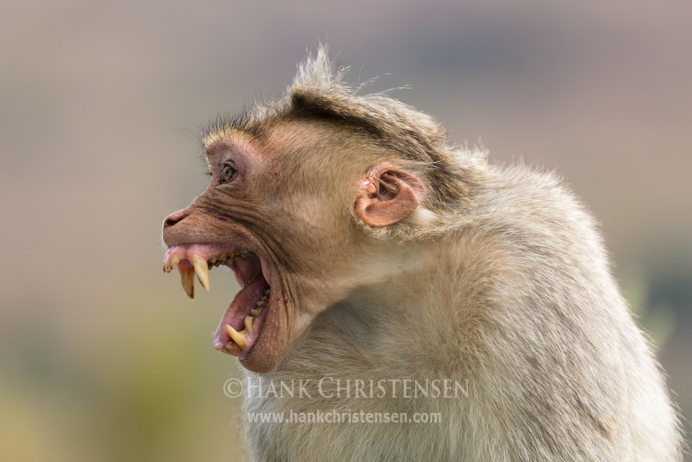 A rhesus macaque bares its fangs in a show of dominance, Ooty, Tamil Nadu, India.