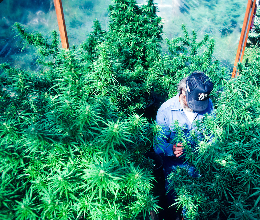 Medical marijuana grower in a green house