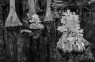 black/white infrared of cypress trees and knees at Merchants Millpond, Gates County, North Carolina