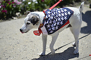 Wantagh, New York, USA. July 4, 2016. Skipper the Jack Russell terrier is wearing patriotic red white and blue stars bandana at the 60th Annual Miss Wantagh Pageant crowning ceremony, an Independence Day tradition on Long Island.