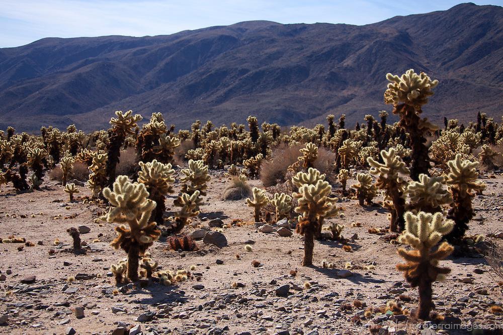 USA, California, Joshua Tree. Cholla Cactus Garden, Joshua Tree.