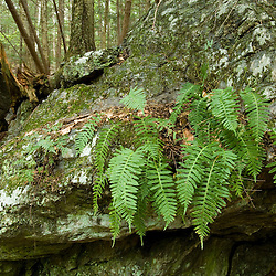 Common polypody ferns, Polypodium polypody, grow on a rock in Gulf Brook Ravine.  Pepperell, MA.  Spring. Ravine was formed by the Wekepeke Fault.