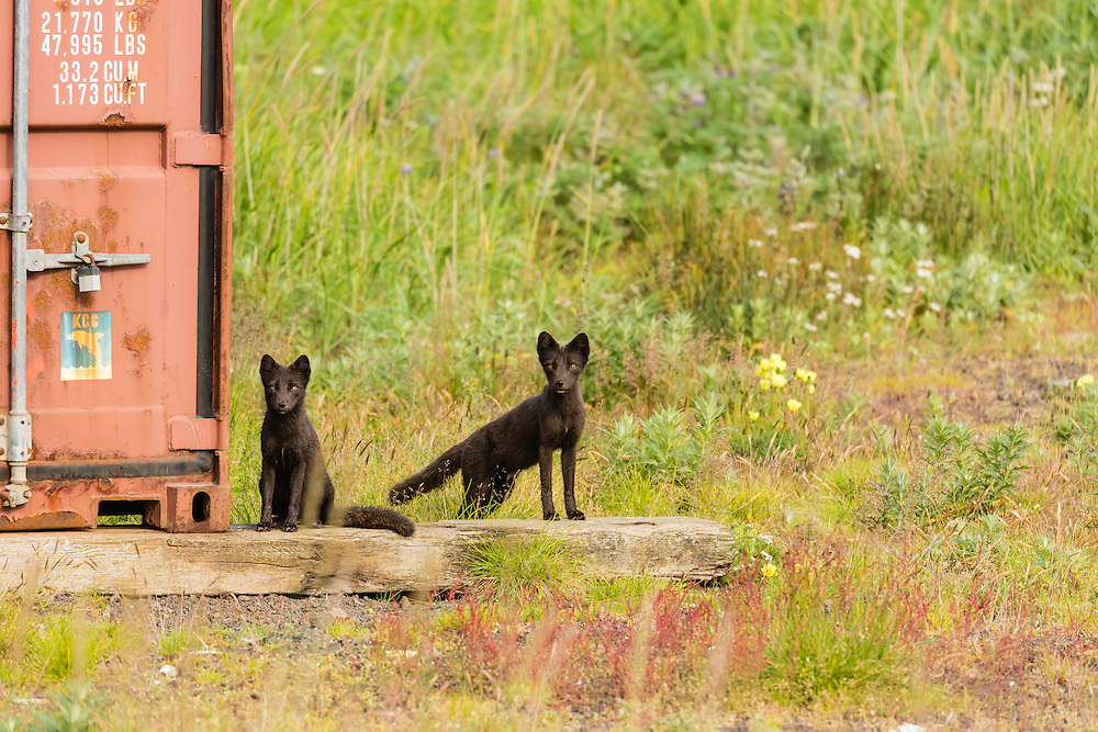 Arctic Fox (Alopex lagopus) near storage container on St. Paul Island in Southwest Alaska. Summer. Morning.