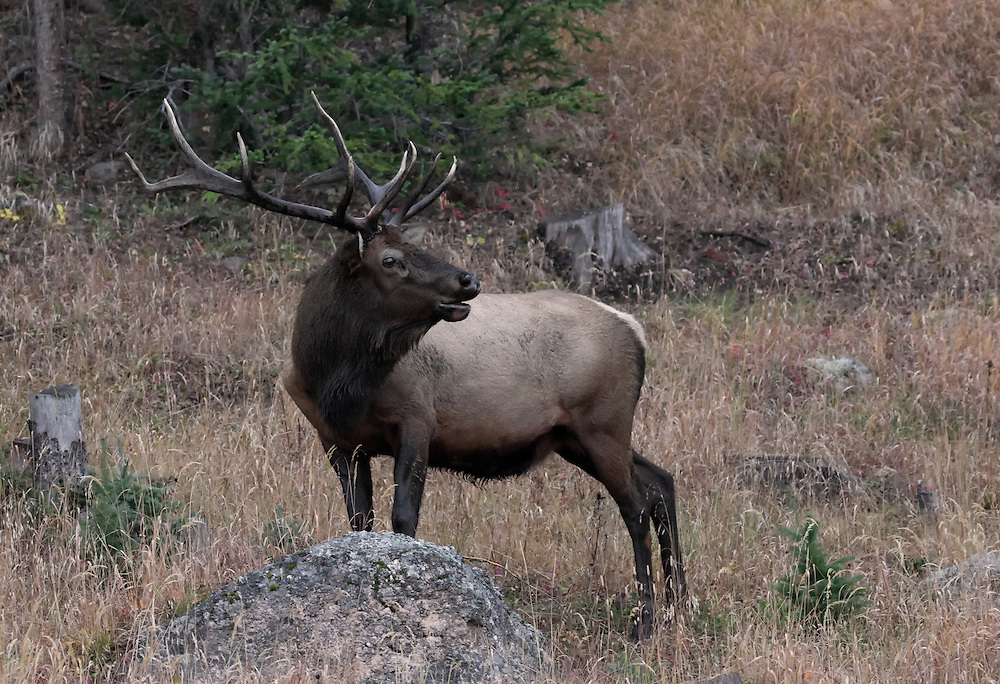 Male elk, or wapiti (Cervus canadensis), Rocky Mountain National Park, Colorado, USA