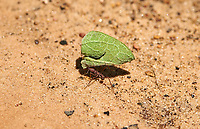 Leafcutter ants, Chapada dos Guimaraes, Mato Grosso, Brazil Photo by: Peter Llewellyn