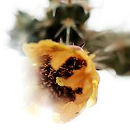 Buckhorn Cholla, Staghorn Cholla, Oputia acanthocarpa
