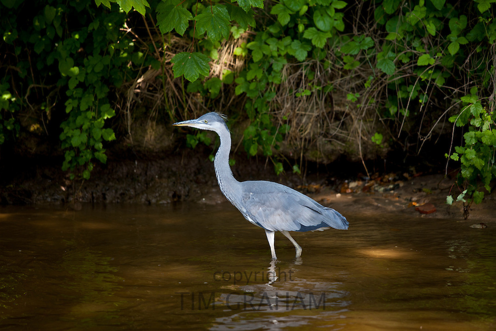 Grey Heron bird, Ardea cinerea, wading in the River Thames in Berkshire, UK