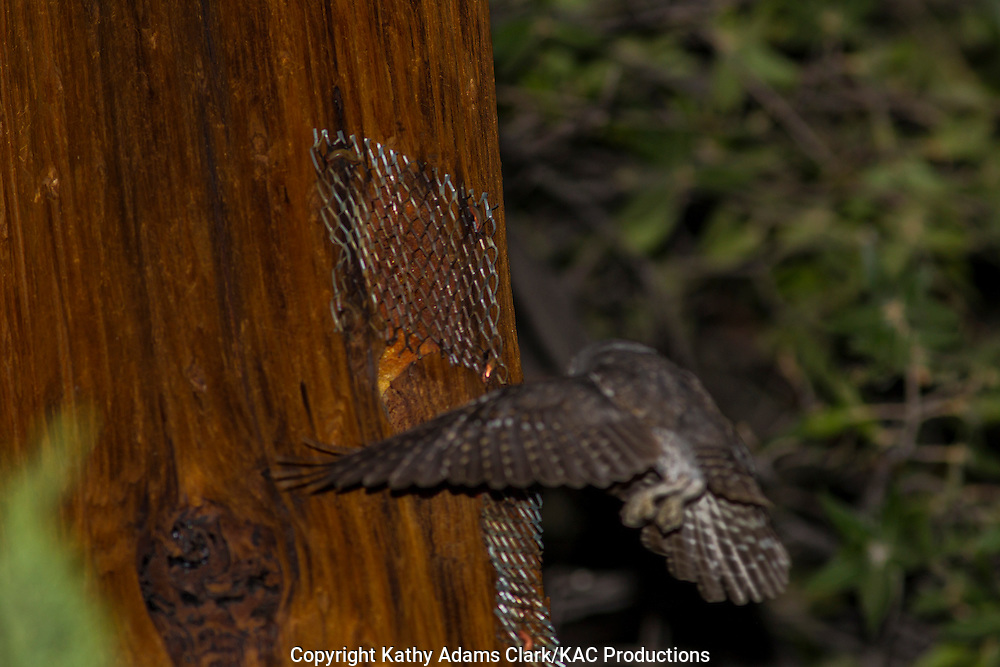 Elf Owl, Micrathene whitneyi, Madera Canyon, Santa Rita Mountains, southern, Arizona.