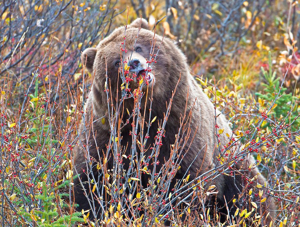 Alaska. Brown Bear (Ursus arctos) eating soapberries (Sheperdia canadensis), Denali National Park.