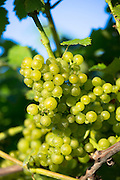 Green grapes on vine and grapevine for white wine production at Biddenden English Vineyards in Kent, England, UK