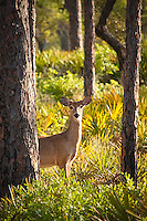 A white-tailed deer peeks in curiosity in a rural pine scrub in Sopchoppy, Florida.
