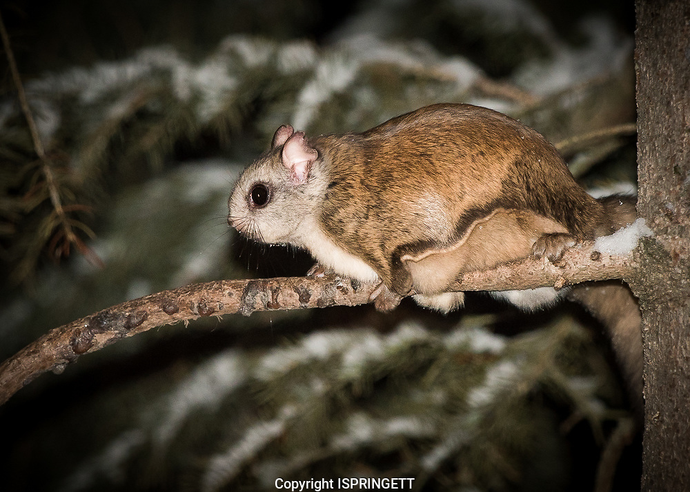 Northern Flying Squirrel (Glaucomys sabrinus), Alberta, Canada, Isobel Springett