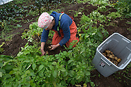LIVING OFF THE GRID<br /> Jennifer Castellani is harvesting potatoes at their organic farm. <br /> Anchor Point, Alaska, USA