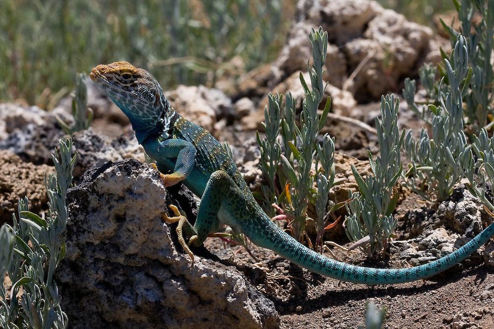 Crotaphytus collaris, Northern Arizona,