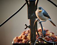 Tufted Titmouse. Image taken with a Nikon D5 camera and 600 mm f/4 lens (ISO 1600, 600 mm, f/4, 1/200 sec)