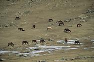 Mongolia. horse riding in the snow in the green lake (height lakes area)  ovokangai     /   randonnée a cheval dans la neige au lac vert (region des huit lacs)  ovokangai  Mongolie     landscape/  paysage