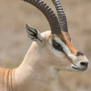 Antelope and Gazelles