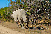 An adolescent male White Rhinoceros (Ceratotherium simum) charging, South Africa.