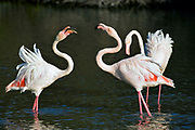 Great Flamingo (Phoenicopterus roseus) from Camargue, France.